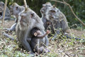 Family of monkeys in the jungle. Bali Royalty Free Stock Photo