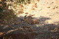 A Family of Nubian Ibexes in Ein Gedi Oasis Royalty Free Stock Photo