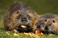 Family nutria holds in his paws and eat apples Stock Images