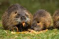 Family nutria holds in his paws and eat apples Royalty Free Stock Image