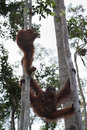 Family orangutan hanging between the trees (Indonesia) Royalty Free Stock Photo
