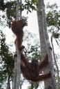 Family orangutan hanging between the trees (Indonesia) Royalty Free Stock Photo