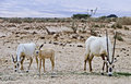 Family of Oryx in nature reserve, Israel Stock Images