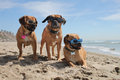 Family photo three puggles at the beach wearing the doggles Stock Images