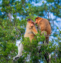 Family of proboscis monkeys sitting in a tree in the jungle. Indonesia. The island of Borneo Kalimantan. Royalty Free Stock Photo