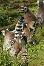 Family of ring-tailed lemur in the grass Royalty Free Stock Image