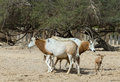 Family of sahara scimitar antelope oryx leucoryx in national biblical hai bar nature reserve km north eilat israel Stock Images