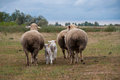 Family sheep Royalty Free Stock Image