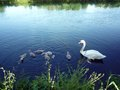 Family of Swan Royalty Free Stock Photo