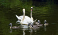 Family of swans birds on pond Royalty Free Stock Photo