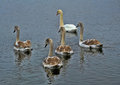 Family of swans with the grown up baby birds Royalty Free Stock Photography