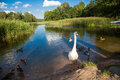 Family of swans mom and kids on the lake Royalty Free Stock Photography
