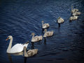 Family of swans mother and eight young Royalty Free Stock Image