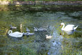 Family of swans in sefton park from liverpool Stock Photos