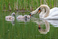 Family of swans splashing around in a lake in england Stock Images