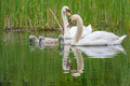 Family of swans splashing around in a lake in england Stock Photos
