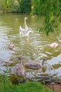 Family of swans splashing around in the ouse river in england Stock Photo