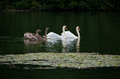 Family of swans swimming in a lake Stock Photo