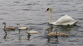 The family of the swans is swimming together in the lake young mute Royalty Free Stock Image
