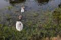 Family of swans white on a river surface Royalty Free Stock Images
