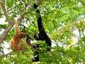 Family of white-cheeked gibbon monkeys in zoo Royalty Free Stock Photo