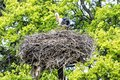 Family of White stork in the nest, bird watching Royalty Free Stock Photo