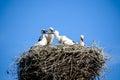 Family of white storks.