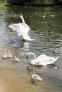 Family of white swans with fledglings swimming in a pond Royalty Free Stock Photography