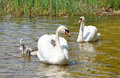 Family of white swans on a lake surface Stock Image