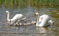 Family of white swans on a lake surface Royalty Free Stock Image