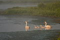 Family of White Swans on a Misty Morning Stock Images