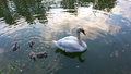 The family of white swans mother and kids birds on lake in city park Stock Images