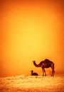 Family of wild camels in desert big tall camel with her child resting on hot sand in dune beautiful nature mammal wildlife concept Stock Photography