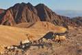 Family wild mountain goats in desert Royalty Free Stock Photo