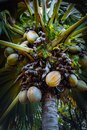Famous Coco de Mer coconut palm tree in the botanical garden of Mahe, Seychelles Royalty Free Stock Photo