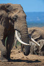 Famous elephant tusks an in addo national park with Royalty Free Stock Photography