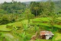 Famous jatliluwih rice paddy and rundown cow shelter in bali indonesia Royalty Free Stock Images