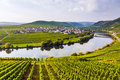 Famous moselle sinuosity with vineyards in trittenheim germany Stock Image