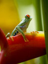 The famous red eyed tree frog Royalty Free Stock Images