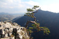 Famous relict pine on sokolica peak symbol of pieniny mountains Stock Image