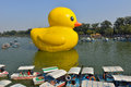The famous rubber duck is exhibited at the summer palace beijing october designed by dutch artist florentijn hofman on october in Royalty Free Stock Images