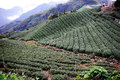 Famous taiwan tea farm in alishan mountain Royalty Free Stock Images