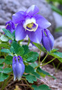 Fan Columbine Royalty Free Stock Images