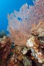 Fan coral in the Red Sea. Stock Image