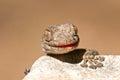 Fan-fingered gecko Royalty Free Stock Photo