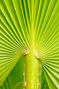 Fan Palm Detail Royalty Free Stock Photo
