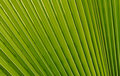 Fan-shaped Palm Leaf Stock Image