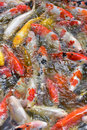 Fancy carp fishs in The pond Royalty Free Stock Photo