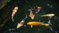 Fancy carp or koi fish Royalty Free Stock Photo