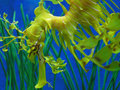 Fancy seahorse yellow from the tropics Stock Photos